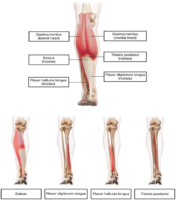 figure3_muscles_for_injection_for_lower_limb_spasticity